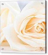 Delicate Beige Roses Acrylic Print