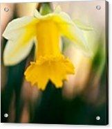Delicate Daffodil Acrylic Print