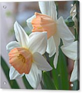 Delicate Daffodils  Acrylic Print