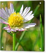 Delicate Daisy In The Wild Acrylic Print