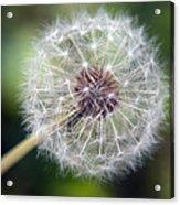 Delicate Dandelion Acrylic Print