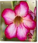 Delicate Desert Rose Acrylic Print