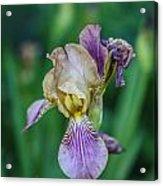 Delicate Iris Acrylic Print