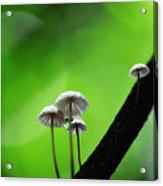 Delicate Mushrooms Acrylic Print