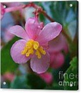 Delicate Petals Acrylic Print