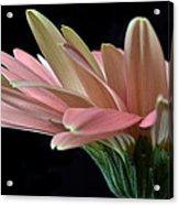 Delicate Petals. Acrylic Print
