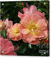 Delicate Pink Roses Acrylic Print