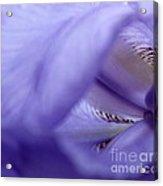 Delicate Purple Acrylic Print