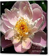 Delicate Touch  Acrylic Print