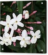 Delicate White Jasmine Blossom With Green Background  Acrylic Print