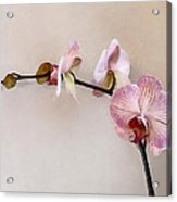 Delicate Pink Phalaenopsis Orchids Acrylic Print