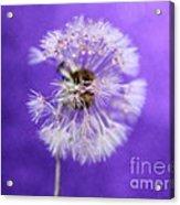 Delicate Wish Acrylic Print