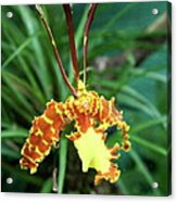 Delicate Yellow Spider Orchid Acrylic Print