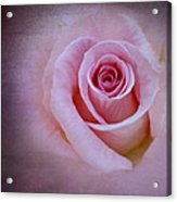 Delicately Pink Acrylic Print