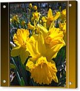 Delightful Daffodils Acrylic Print