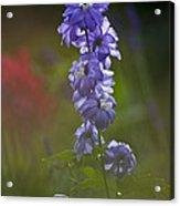 Delphinium Blossom Acrylic Print
