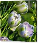 Delphinium Buds Blooming Acrylic Print