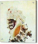 Delphinula Sea Shell Acrylic Print