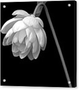 Demure Lotus Acrylic Print
