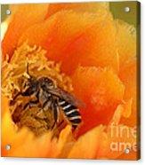 Desert Bee Acrylic Print