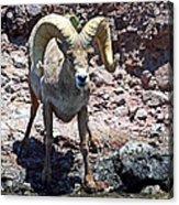 Desert Bighorn Sheep Acrylic Print