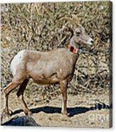 Desert Bighorn Sheep Ewe With Radio Acrylic Print
