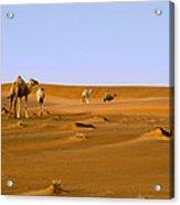 Desert Camels Acrylic Print