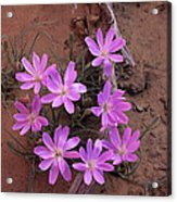 Desert Chicory Rafinesquia Neomexicana Acrylic Print