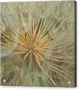 Desert Dandelion 4 Acrylic Print