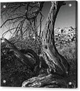 Desert Elder Acrylic Print