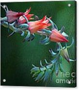 Desert Grace - Echeveria Acrylic Print