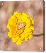 Desert-marigold Moth Acrylic Print
