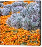 Desert Poppies And Sage Acrylic Print