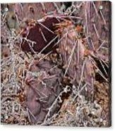 Desert Prickly Pear Cactus Acrylic Print