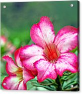 Desert Rose At Kualoa Acrylic Print