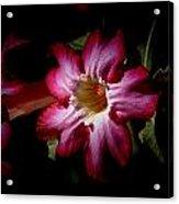 Desert Rose V3 Acrylic Print