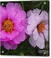 Desert Roses In Purple And Pink Acrylic Print