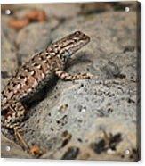 Desert Spiny Lizard Acrylic Print