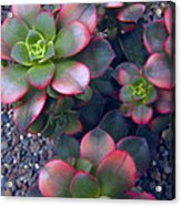 Desert Succulents Acrylic Print