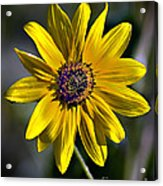 Desert Sunflower Acrylic Print