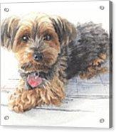 Desktop Calendar Yorky Dog Watercolor Portrait Acrylic Print