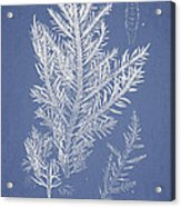Desmarestia Ligulata Acrylic Print