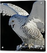 Destiny's Journey - Snowy Owl Acrylic Print by Inspired Nature Photography Fine Art Photography