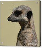 Desultory Meerkat Acrylic Print