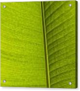 Detail Of Banana Leaf Andromeda Acrylic Print