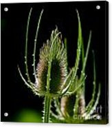 Detail Of Thistle Acrylic Print
