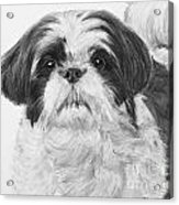 Detailed Shih Tzu Portrait Acrylic Print