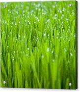 Dew Acrylic Print