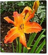 Dew Drops On Golden Lily Acrylic Print
