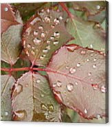 Dew Drops On The Rose Leaves Acrylic Print